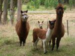alpacas-animals-vicugna-pacos