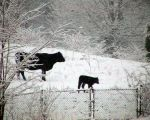cows-on-snow